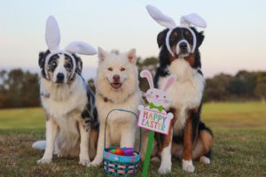 Dogs playing Easter Bunny.